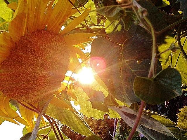 sunflowers, dog days of summer, gardens