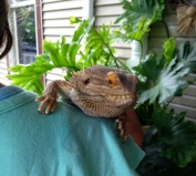 Reggie, the bearded dragon