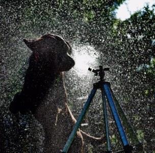 Dog versus Sprinkler